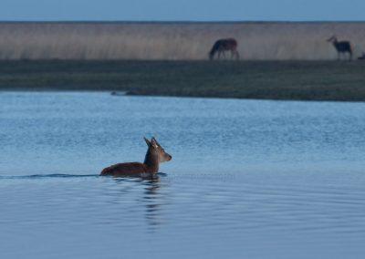 Vroeg in de ochtend zwemt een Hinde over naar de andere herten