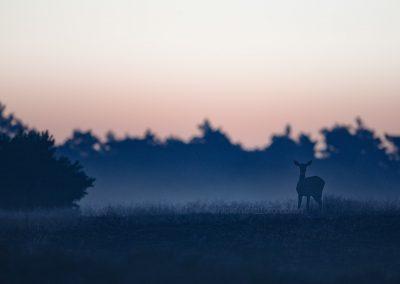 Hinde in de blauwe uurtjes voordat de zon opkomt