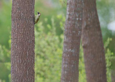 Groene Specht hangend aan de stam van een boom