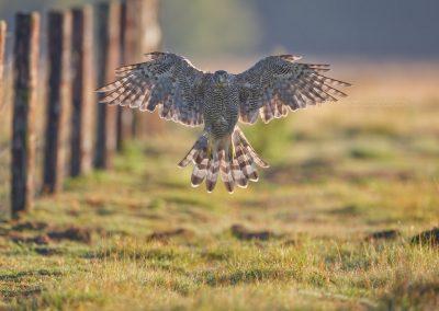 Havik  man vliegt recht naar de camera waar hij een prooi zag en onderbreekt plots zijn aanval