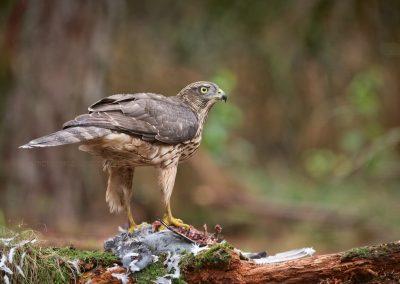 Havik kijkt op tijdens het eten van een geslagen duif