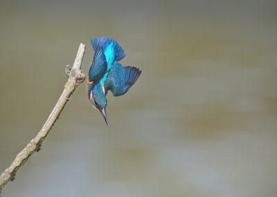 IJsvogel duikt naar een prooi