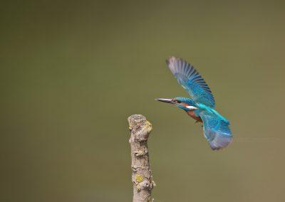 IJsvogel komt aan vliegen