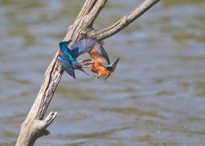 Twee IJsvogel mannetjes vechten om een territorium