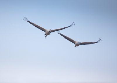 Twee Kraanvogels in vlucht