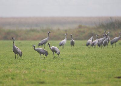 Kraanvogels beginnen hun dag met foerageren