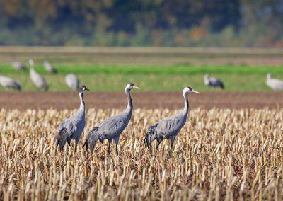 Kraanvogels in een geoogst maisveld