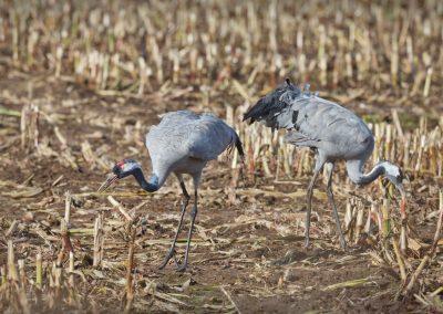 Foeragerende Kraanvogels tijdens de vogeltrek