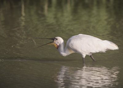 Spoonbill throws a small fish up during foraging
