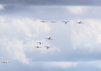 Group of flying spoonbills