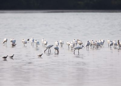 Group of Spoonbills resting in the water