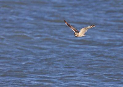 Velduil vliegend over het water