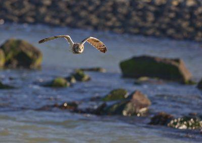 Velduil vliegend langs de afsluitdijk