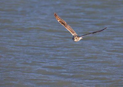 Velduil vliegt boven het water