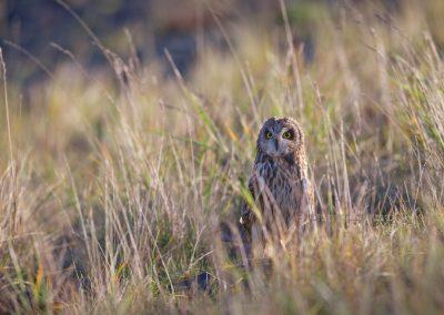 Velduil kijkt waakzaam om zich heen vanuit het hoge gras