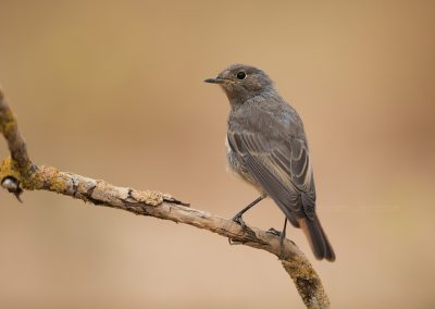 Juvenile Black Redstart looks back
