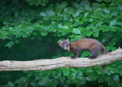 Pine Marten listens to check if it is safe to continue his trip late in the evening