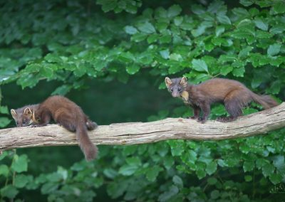 Two Pine Martens late in the evening in the last daylight do start their nightly trip