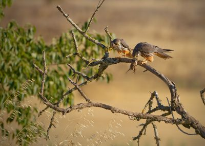 Eurasian Hobby male just did give a prey (tree sparrow) to the female who starts to eat direct from it