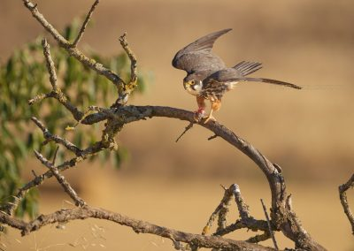 Eurasian Hobby is about to fly off after eating the prey, a little rest will be taken with her