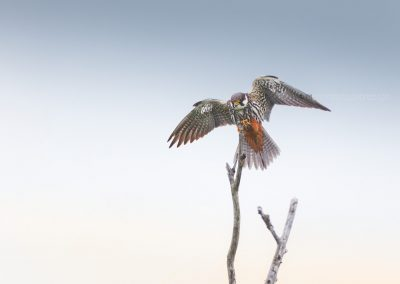 Eurasian Hobby did just land on top of a dead tree