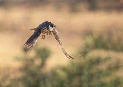 Eurasian Hobby in flight