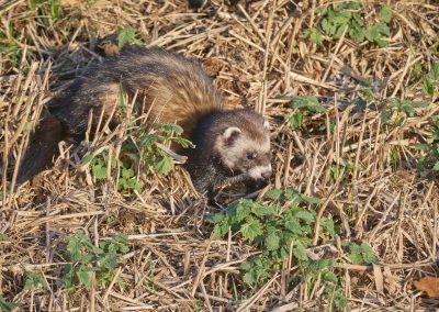 Polecat hunting , sniffs a prey