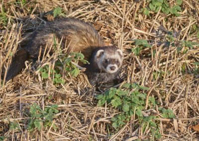 European Polecat looks up while hunting at day which is rare it is a nocturnal animal