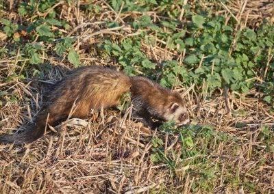 Polecat sneakes through the field while hunting