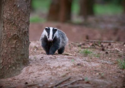 Badger who just did come out of its sett, late in the evening in the last daylight