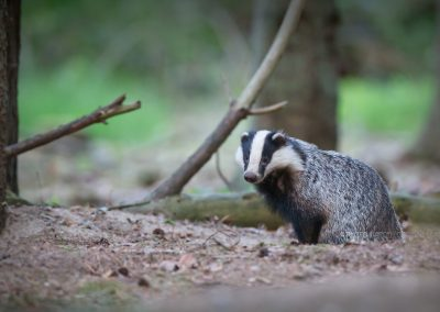 Badger checks if it is safe to start his night activity after coming out of his sett