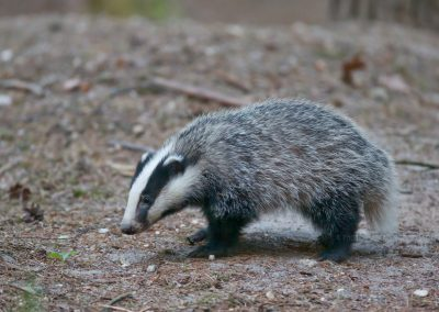 Juvenile Badger on a journey of discovery outside the sett