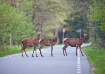 Three Red Deer do cross the road to return to their day stand in when a newe day starts