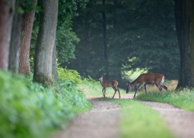 Red Deer and her calf do cross the path after foraging when a new day starts