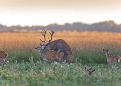 Red Deer Stag mating with a Hind from the rut