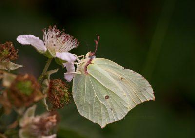 Citroenvlinder zuigt nectar uit een bramenbloem