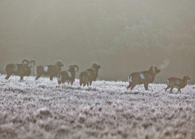 Moeflons rammen flemen in de vroege koude ochtend