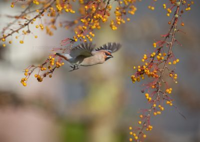 Waxwing flies to the next branch with ripe berries