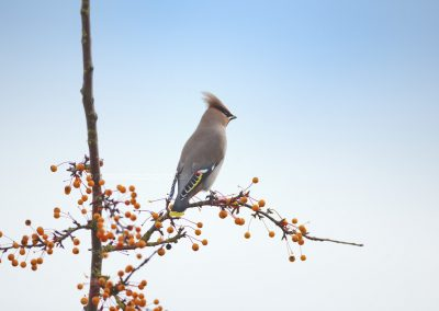 Waxwing high in a tree waiting fo the moment to eat from the berries