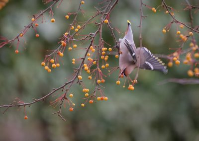 Waxwing hanging upside down to pick ripe red berries