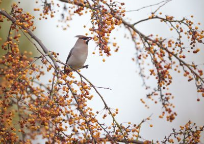 Bohemian Waxwing eating ripe berries: choosing the red ones and not the yellow ones who or not complete ripe