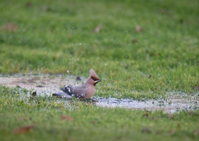 Bohemian Waxwing takes a bath in a rain puddle
