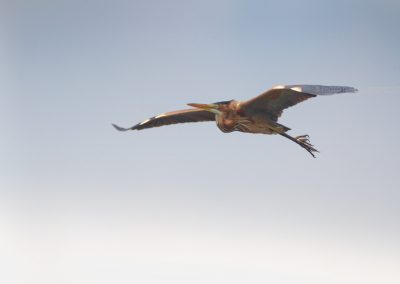 Purple Heron in flight over the wetlands