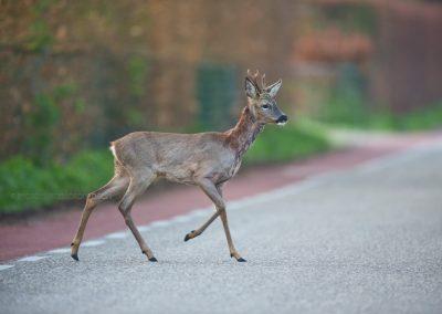Roe Deer Buck crossing the street