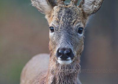 Roe Deer buck coming very close…