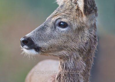 Roe Deer Buck close up