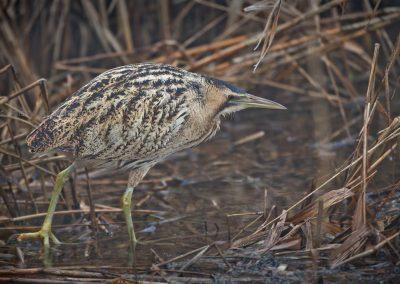 Eurasian Bittern foraging along the reed collar