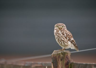 Little Owl watching from his lookout post