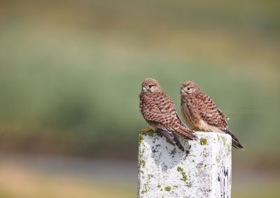 Two young Kestrels had made one of their first flights do rest on a pole