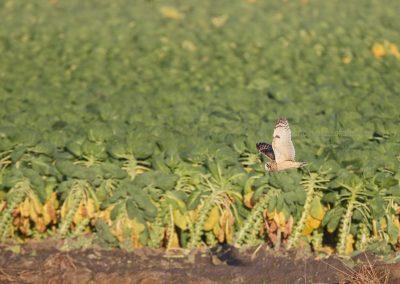 Velduil vliegend laangs een spruitenveld